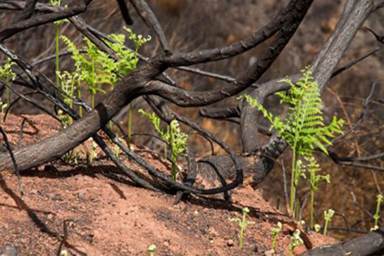 Gebiet nach einem Waldbrand - Leben entsteht neu (Resilienz)